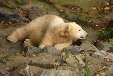 Free Polar Bear Stock Photography - 6852952