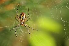 Free Large Colored Spider Royalty Free Stock Photo - 6853055