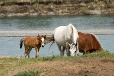 Free Horses In The Watering Place Royalty Free Stock Photo - 6853125