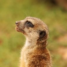 Free The Meerkat Royalty Free Stock Photos - 6853198