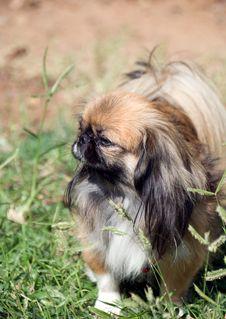 Free Pekingese Stock Photo - 6853220