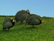 Free Three  The Guinea Fowls Royalty Free Stock Photo - 6854295