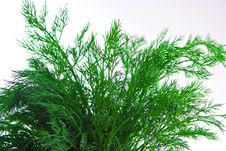 Free Bunch Of Dill Stock Photos - 6854593