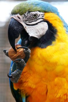 Free Macaw Eating Walnut Stock Image - 6855881