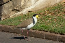 Free Masked Lapwings Royalty Free Stock Images - 6856739