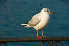 Free Seagull Royalty Free Stock Photos - 6856998