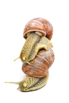 Free Two Garden Snails Royalty Free Stock Images - 6857319
