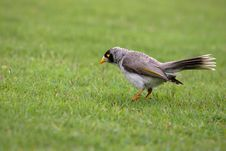 Free Noisy Miner On The Grass Stock Photo - 6857780