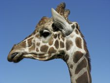 Free Giraffe Royalty Free Stock Photo - 6857805