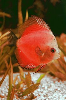 Free Discusfish White Face Royalty Free Stock Images - 6857929
