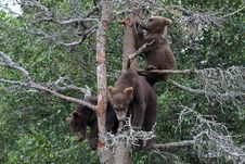 Free 3 Grizzly Cubs In Tree 7 Stock Photo - 6857970