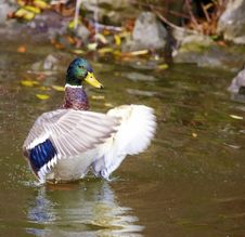 Mallard In The Pond Royalty Free Stock Photos