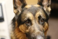 Free Dog German Shepherd And Her Face Royalty Free Stock Photo - 68540195