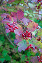 Free Red Currant Berries Royalty Free Stock Image - 6863926