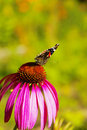 Free Butterfly On Chrysanthemum Stock Photo - 6864360