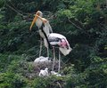 Free Painted Storks Stock Photo - 6866820