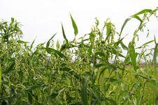 Free Corn Royalty Free Stock Photo - 6860155