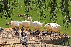 Free Goose Flock Stock Image - 6860441