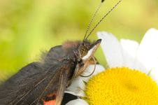 Free The Butterfly Sitting On A Camomile Stock Images - 6860764