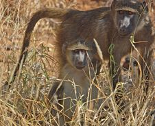 Free African Wildlife: Baboon Royalty Free Stock Photography - 6860877