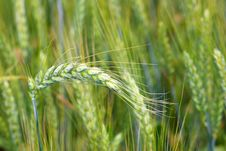 Free Wheat Royalty Free Stock Image - 6861796