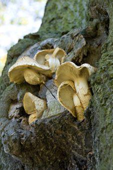Tree Fugus Royalty Free Stock Photo