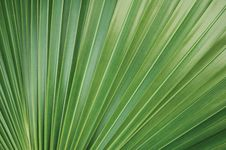 Free Green Palm Leaf Royalty Free Stock Photography - 6861947