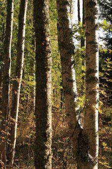 Free Birches Stock Images - 6862514