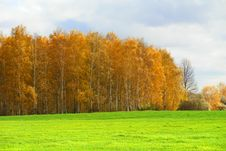 Free Birches Royalty Free Stock Image - 6862686