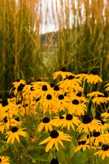 Free Brown Eyed Susans By Sea Oats Royalty Free Stock Images - 6863469