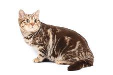 Free British Tabby Cat Stock Images - 6864004