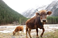 Free Cows On The Meadow Stock Photography - 6864102