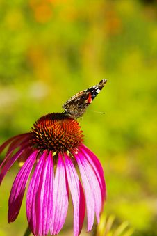 Free Butterfly On Chrysanthemum Stock Photo - 6864360