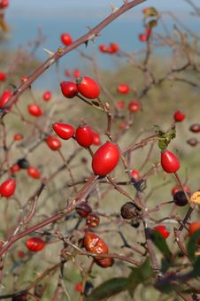 Free Dog-rose Red Fruits Stock Photography - 6866632