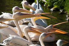 Free Pelicans Royalty Free Stock Photos - 6867968