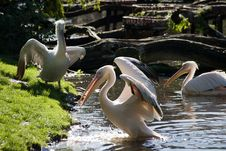 Free Pelicans Stock Image - 6868001