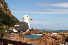 Free Sea Gull Royalty Free Stock Photo - 6868165