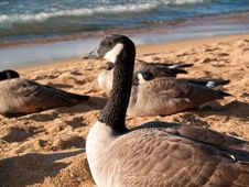 Free Close View Of A Goose Stock Photography - 6868402
