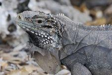 Free Iguana Royalty Free Stock Images - 6868749