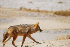 Free Desert Coyote Stock Photo - 6869040