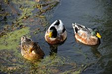 Free Three Staring Ducks Royalty Free Stock Images - 6869219