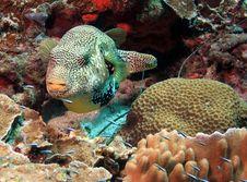 Free Puffer Fish Stock Image - 6869391