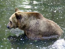 Free Brown Bear Stock Images - 6869514