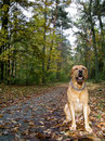 Free Labrador Royalty Free Stock Photo - 6870185