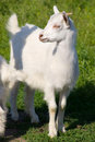 Free Little Young White Goat Royalty Free Stock Photography - 6871067