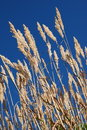 Free Ornamental Grass And Blue Sky Royalty Free Stock Photo - 6871395
