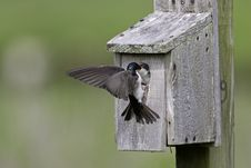 Free Tree Swallow Feeding Juvenile Royalty Free Stock Photo - 6870335