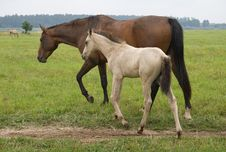 Free Horse With Her Foal Royalty Free Stock Photography - 6871147