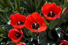 Free Red Tulips In The Sun Royalty Free Stock Photos - 6874728