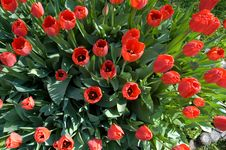 Free Red Tulips In The Sun Royalty Free Stock Photos - 6874738